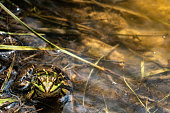 Frog sitting in a pond