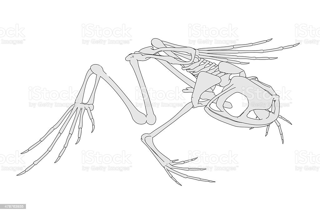 Frog Skeleton Stock Photo & More Pictures of Anatomy | iStock