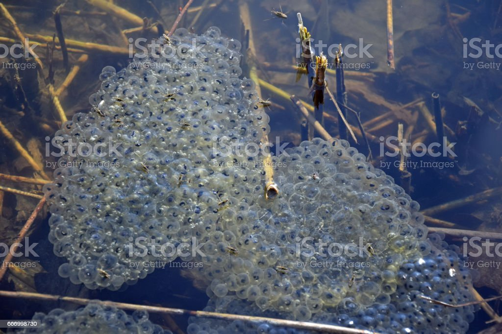 frog spawn in a lake stock photo