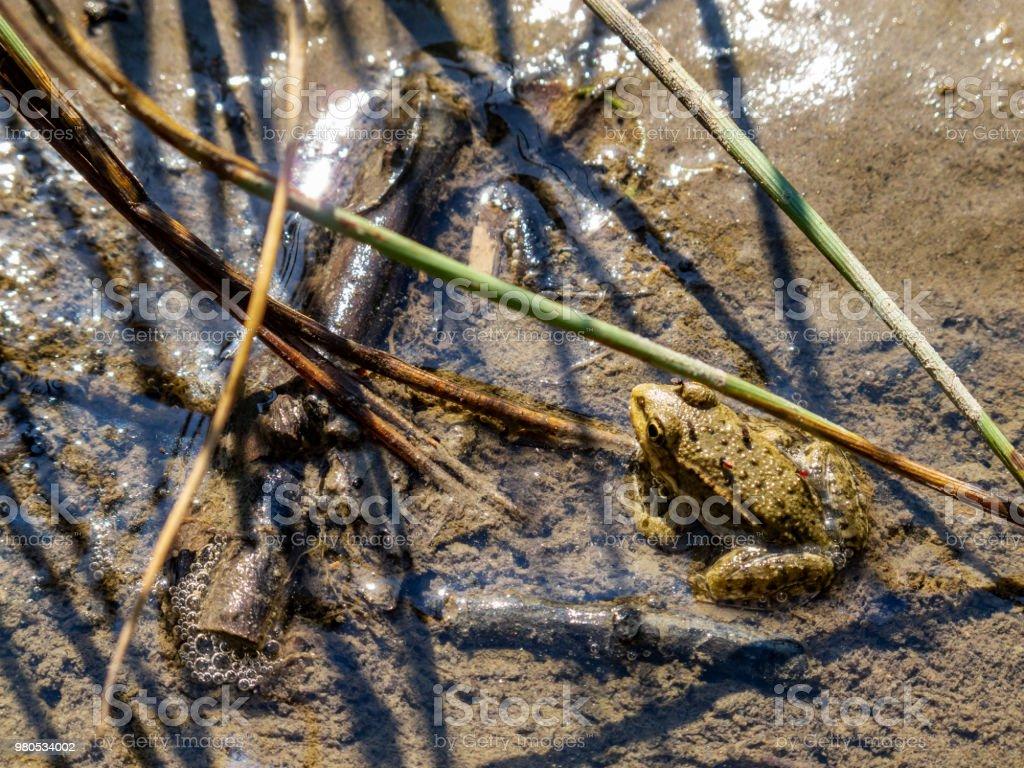 Une grenouille debout immobile dans la boue avec les brûlots là-dessus - Photo