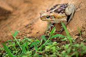 Frog standing on clay cracked ground. Cane Toad (Rhinella diptycha), specie also known as cururu in Brazil and South America, Cope's, Schneider's toad, Rococo toad.
