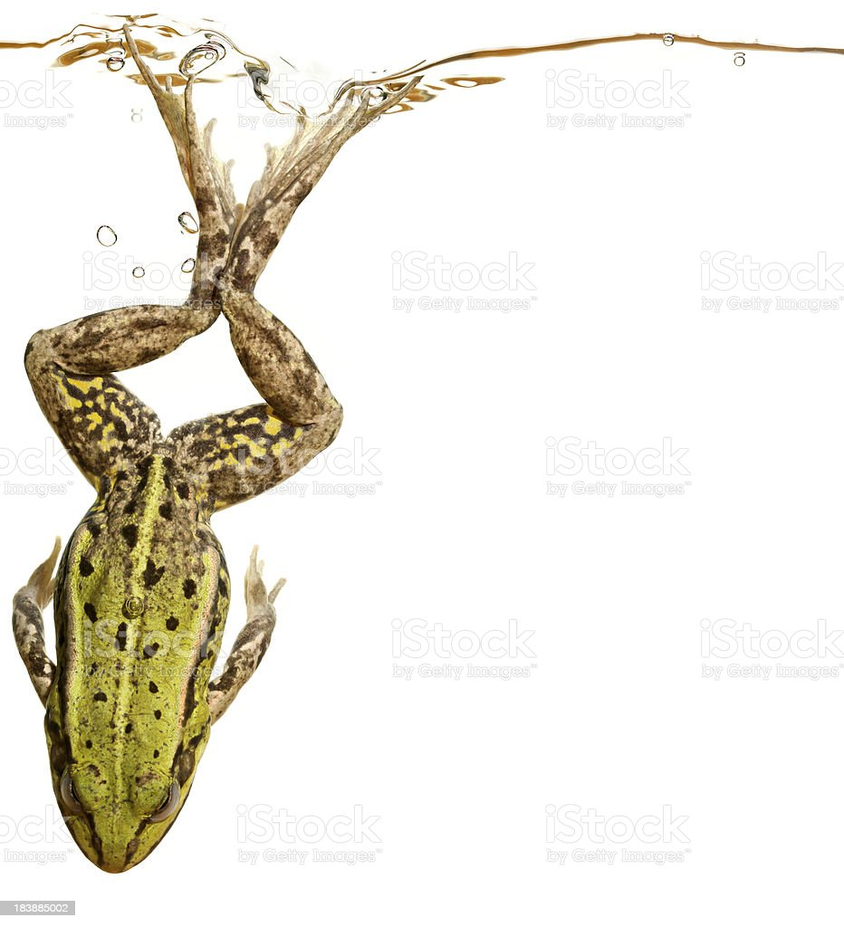 frog under water royalty-free stock photo