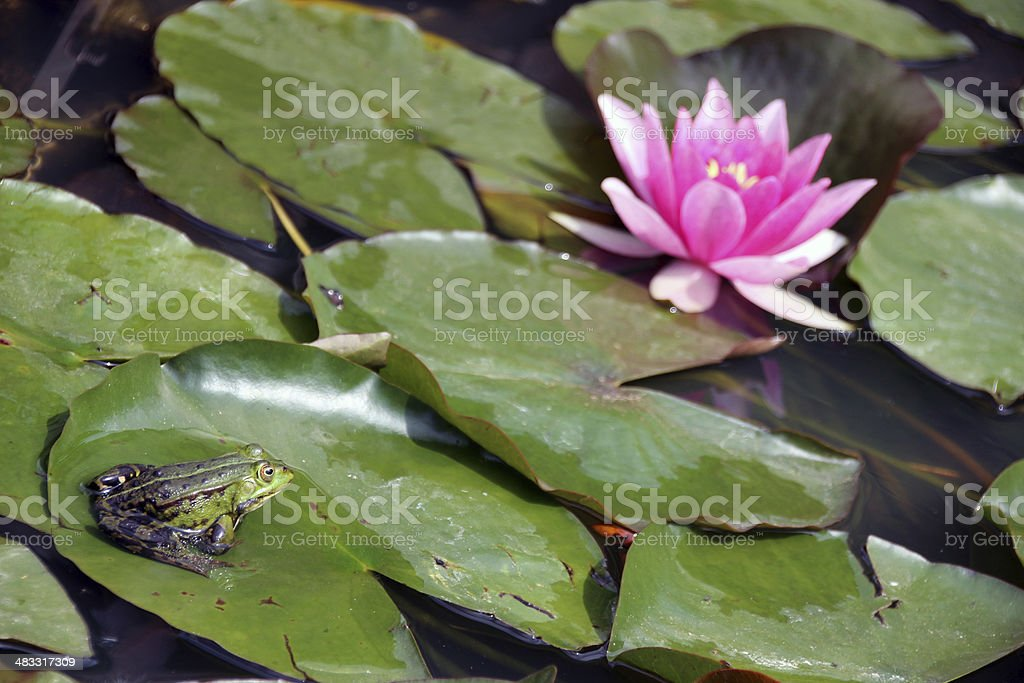 Frog watching at pink water lily stock photo