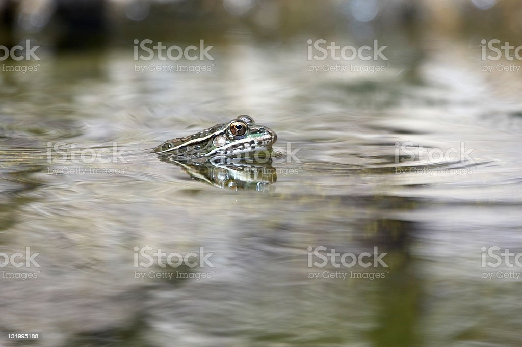 Frog with head breaking water surface royalty-free stock photo