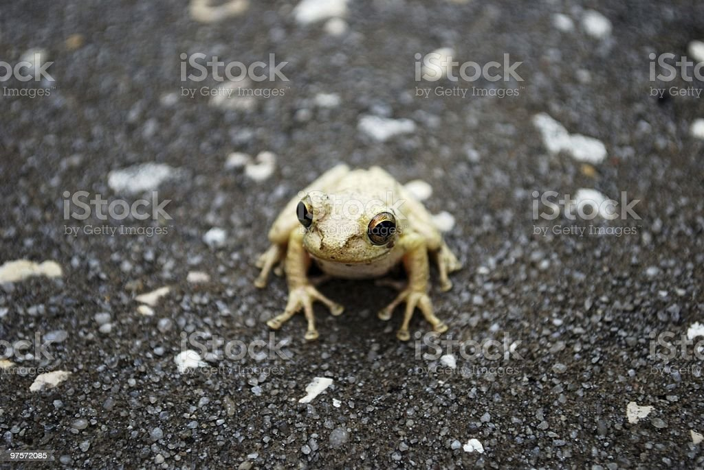 frog with marble eyes royalty-free stock photo