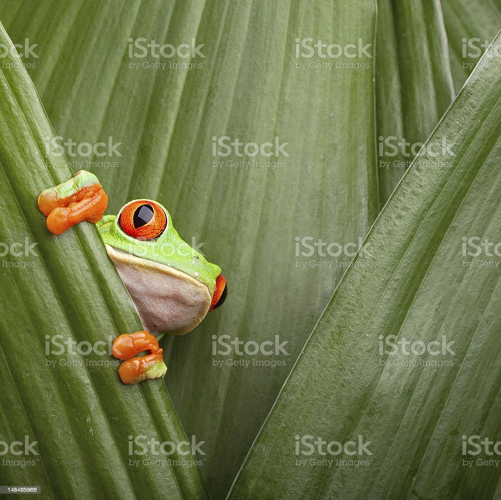 Frog with red eyes peeping through the leaves stock photo