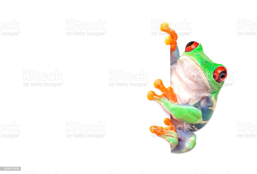 frog with white placard for messages stock photo