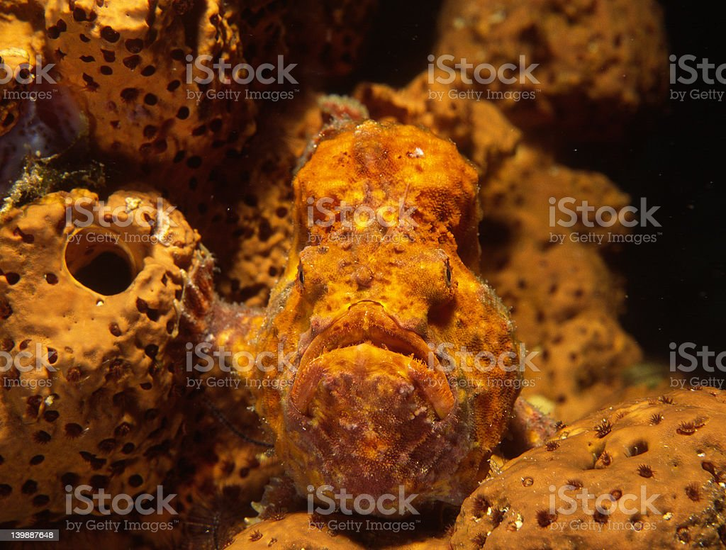 Frogfish and coral stock photo
