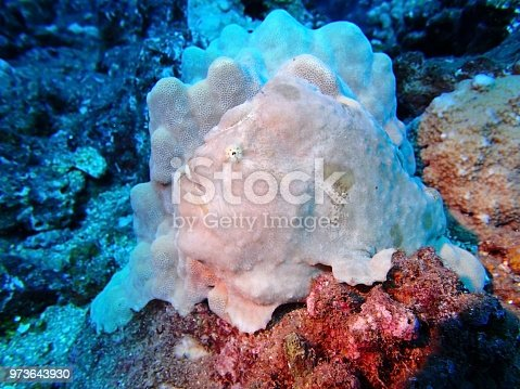 istock Frogfish or Anglerfish against coral 973643930