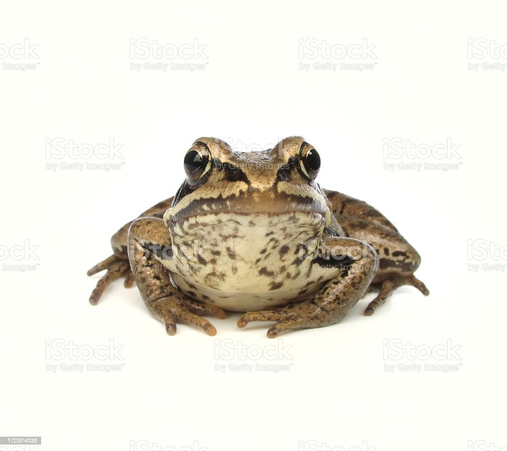 frogling royalty-free stock photo