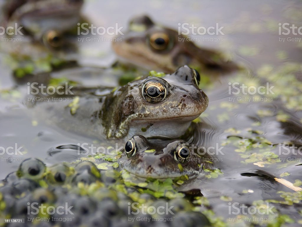 Frogs and Spawn royalty-free stock photo