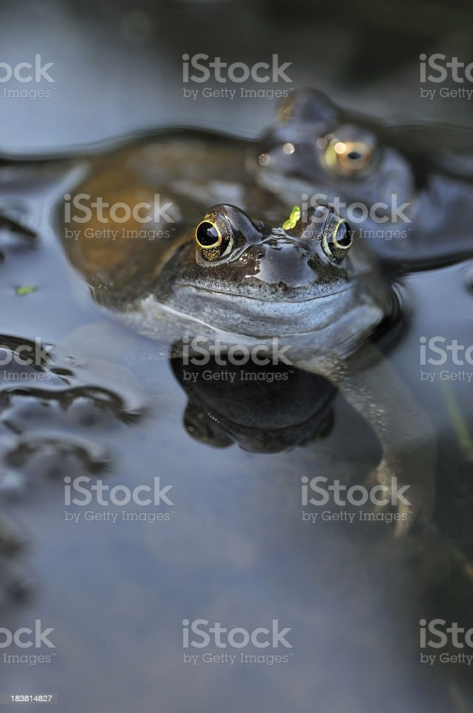 Frogs and Spawn Portrait stock photo
