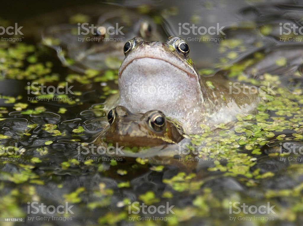 Frogs Eyes stock photo