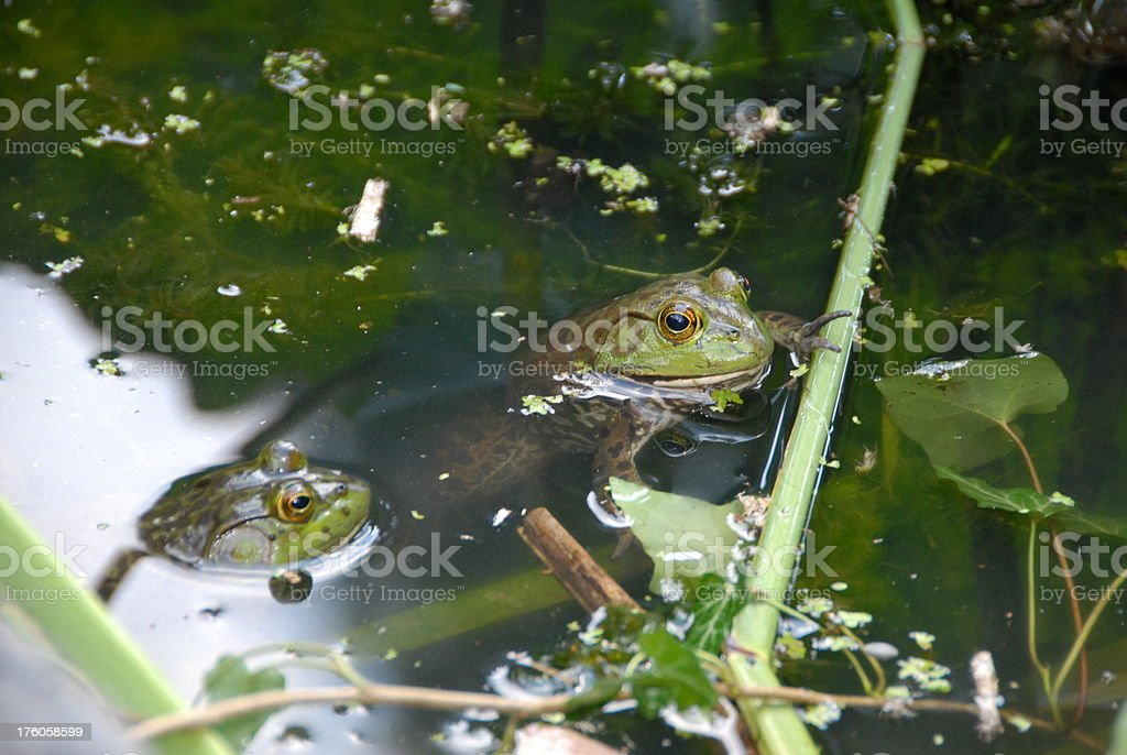 Frogs Hanging Out stock photo