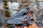 Frogs mating in water, macro photography