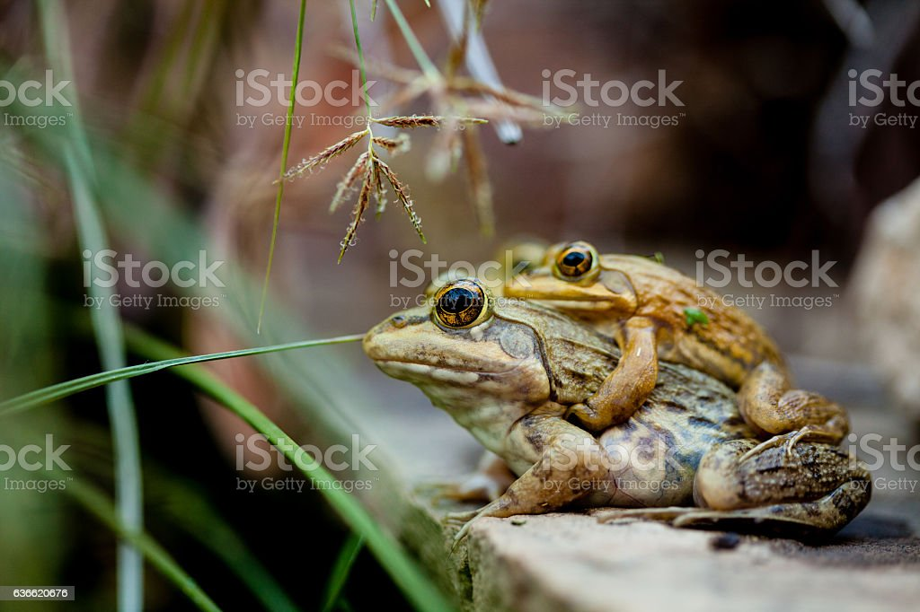 Frogs mating stock photo