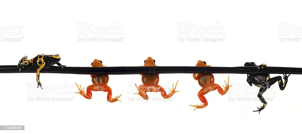 Frogs on  branch. stock photo