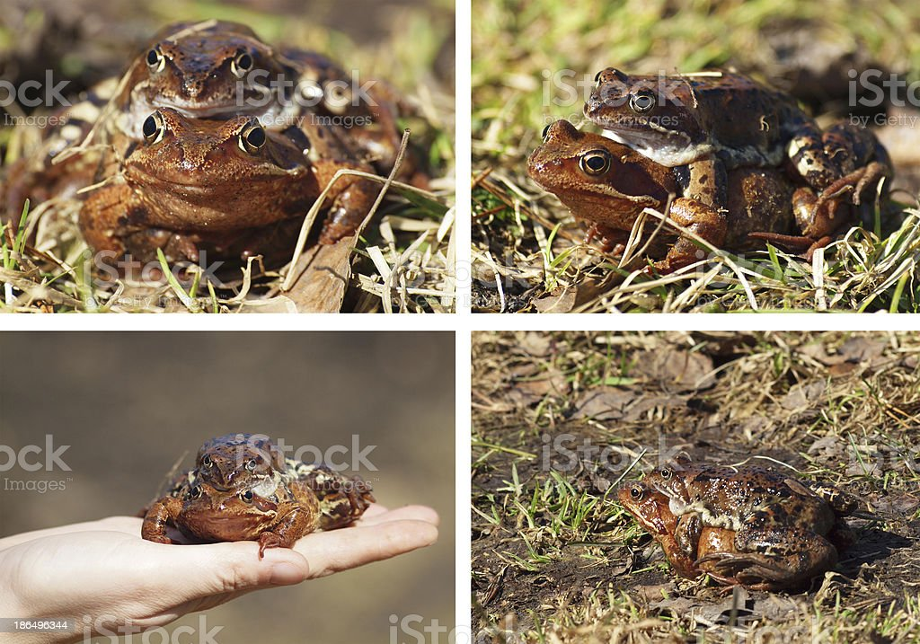 Frogs. Set royalty-free stock photo