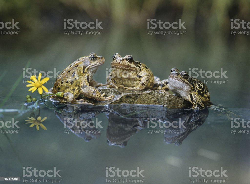 Frogs Sitting on Rock stock photo