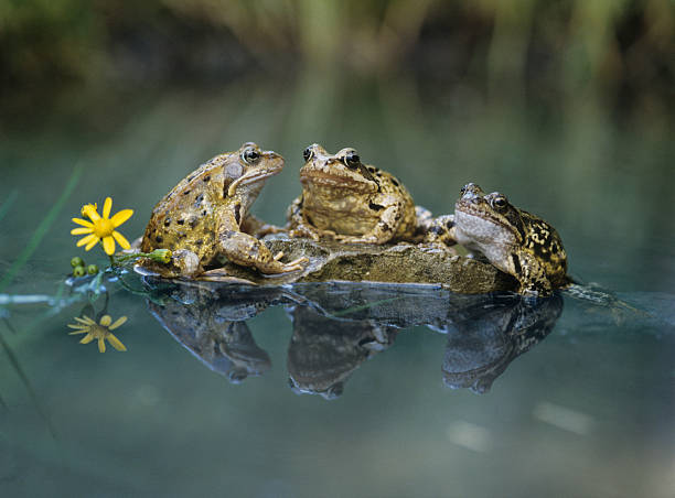 Frogs assis sur Rocher - Photo