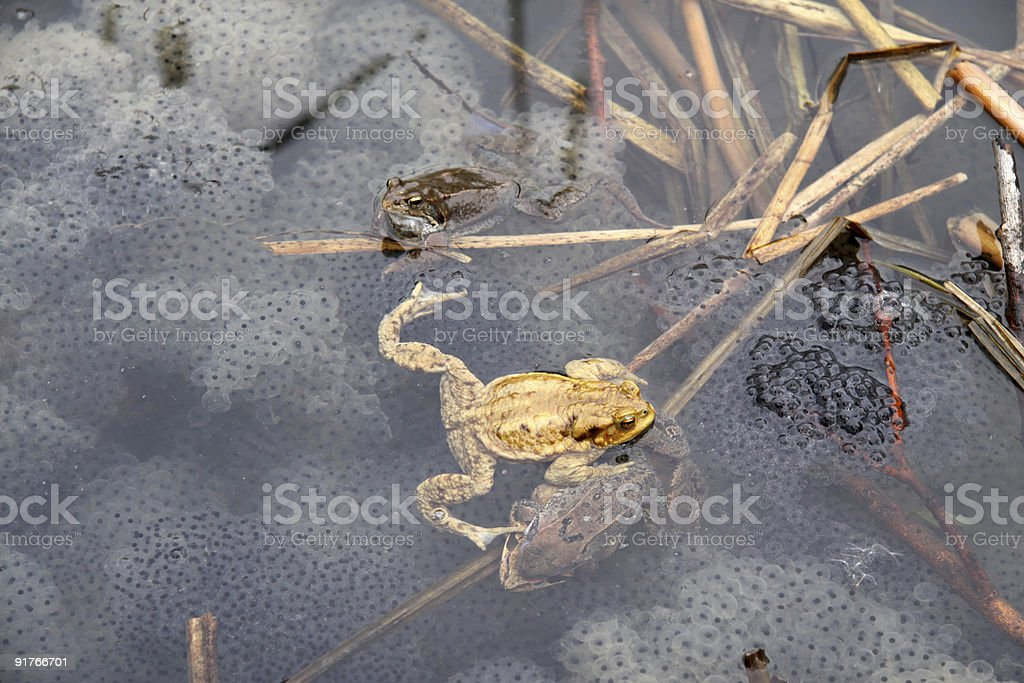 Frogs with Spawn stock photo