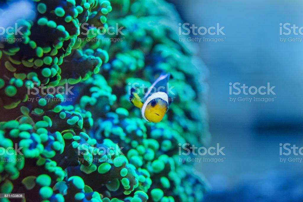 frogspawn coral, Euphyllia paradivisa stock photo