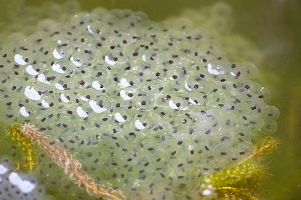 frogspawn of common frog (rana temporaria) - mantonature amfibieen stockfoto's en -beelden