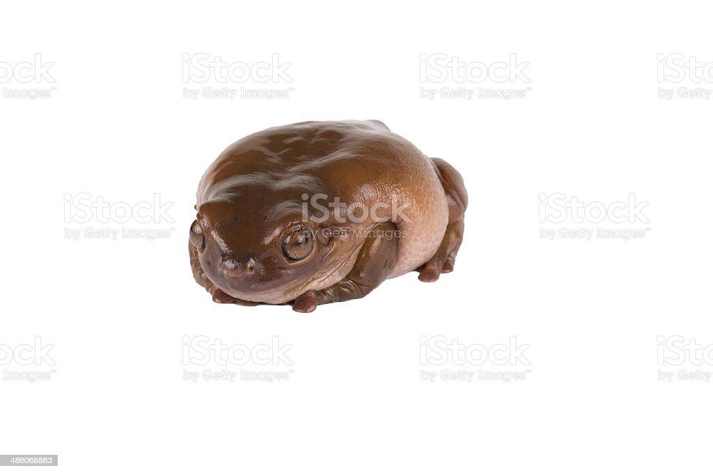 frog,tree frog,white tree frog,brown frog stock photo