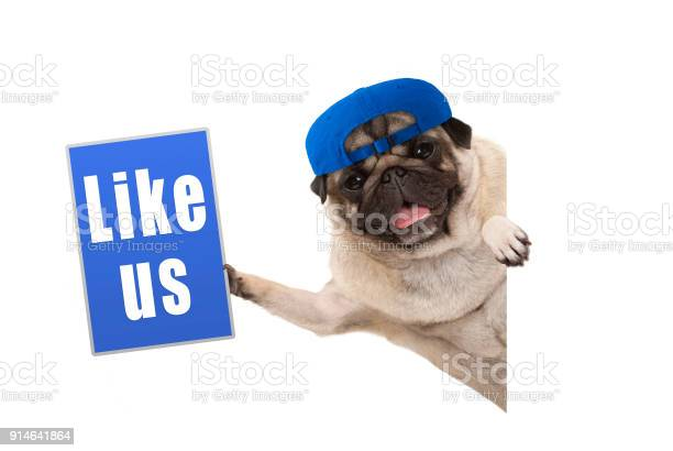 Frolic pug puppy dog holding up blue like us sign hanging sideways picture id914641864?b=1&k=6&m=914641864&s=612x612&h=w2xg2wedsyxaygluvqenascwzn oougk2yuoxz73hvi=