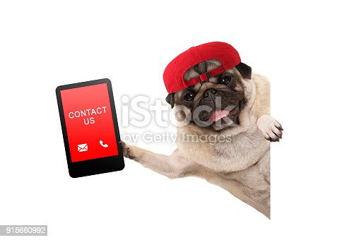 istock frolic pug puppy dog with red cap, holding up tablet phone with text contact us, hanging sideways from white banner 915660992