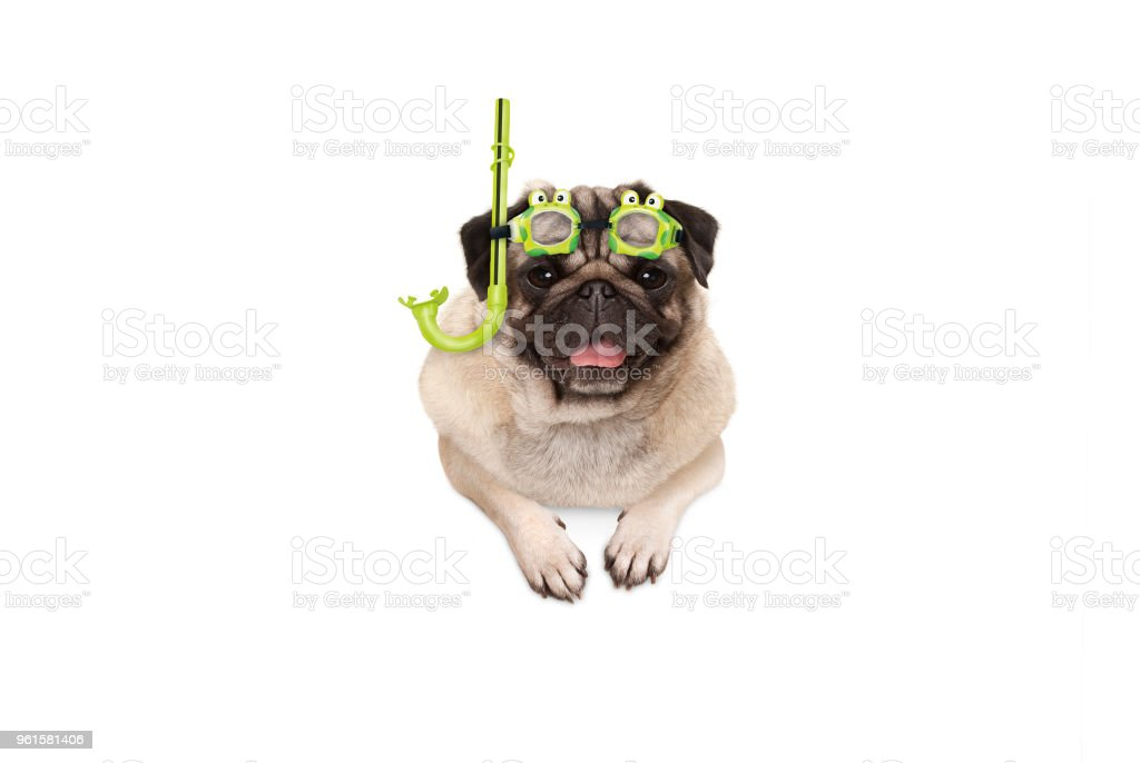 cde2cc69b94b0a Stoeien Glimlachend Pug Puppy Hondje Met Groene Snorkel En Bril ...