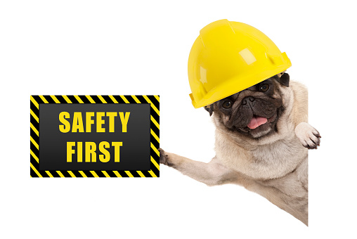 frolic smiling pug puppy dog with yellow constructor helmet, holding up black and yellow safety first sign board