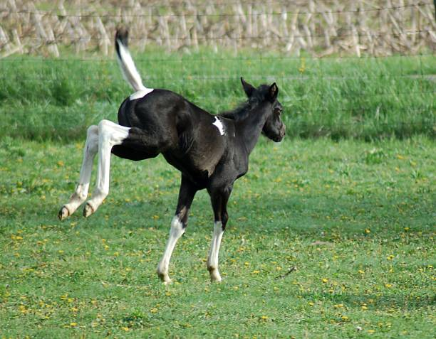 Frollicking Filly stock photo