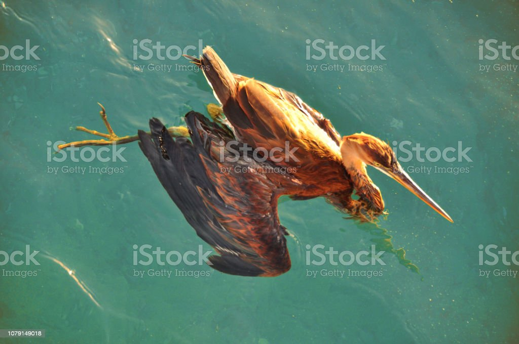 From above shot of brown heron swimming in crystal clear blue water...