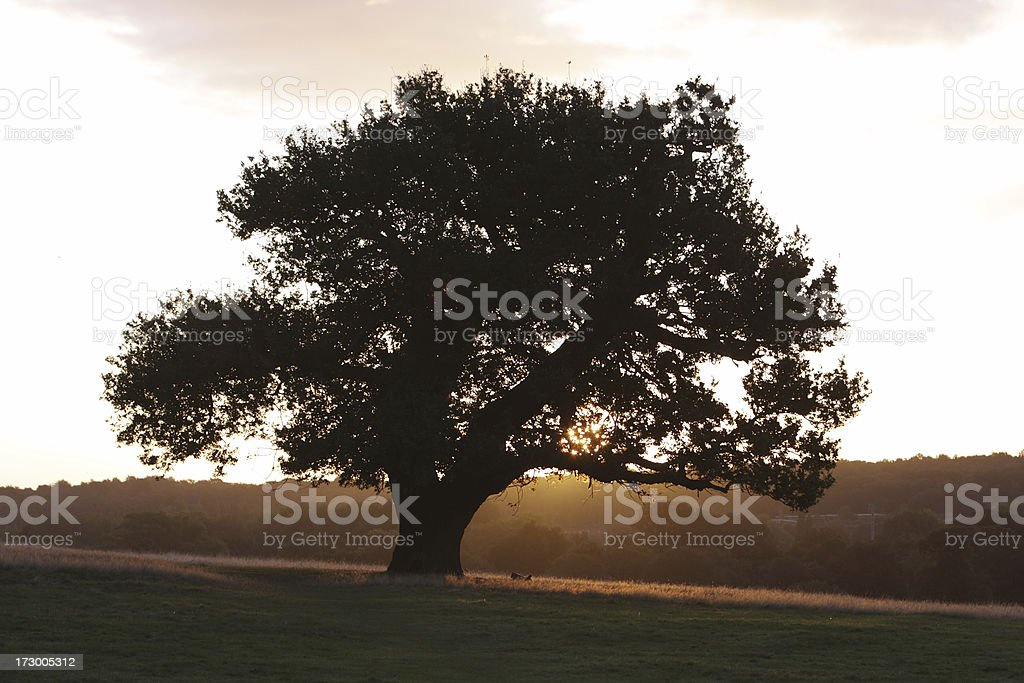 Orange sunrise beyond dark oak tree autumn royalty-free stock photo