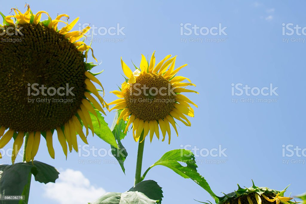 From behind of sunflower foto royalty-free