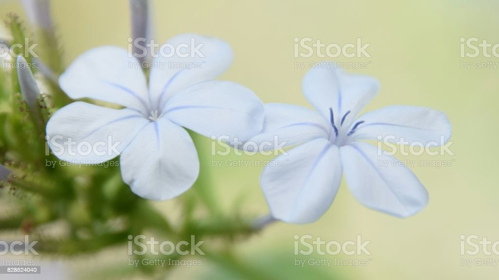 Dos flores de plumbago auriculata. stock photo