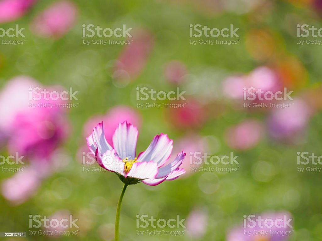 From the side the cosmos with the flower core visible ストックフォト