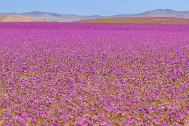 From time to time rain comes to Atacama Desert, when that happens thousands of flowers grow along the desert from seeds that are from hundreds of years ago, amazing the