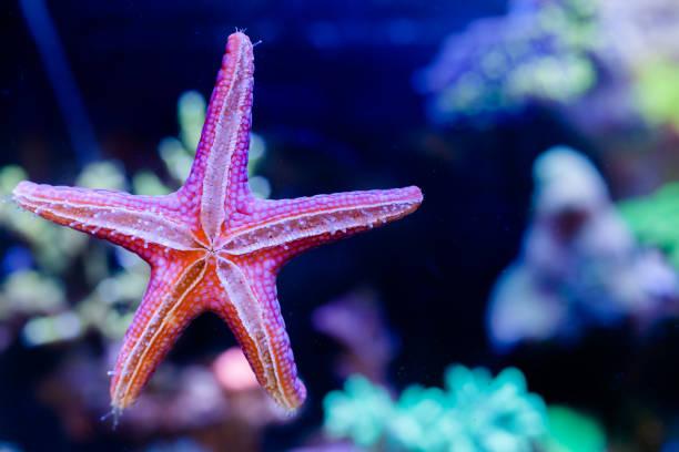 fromia elegans starfish in home coral reef acquario - immerse in the stars foto e immagini stock