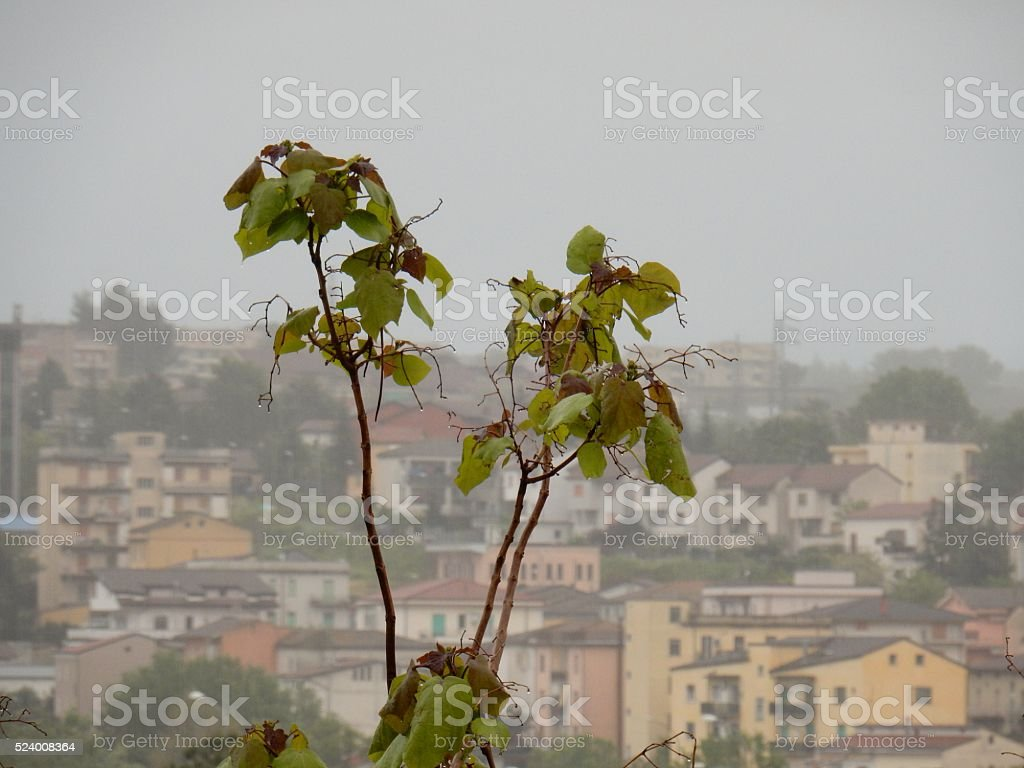 Frond catalpa of Benevento stock photo