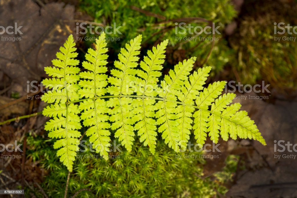 Frond of intermediate wood fern at Mud Pond, New Hampshire. stock photo