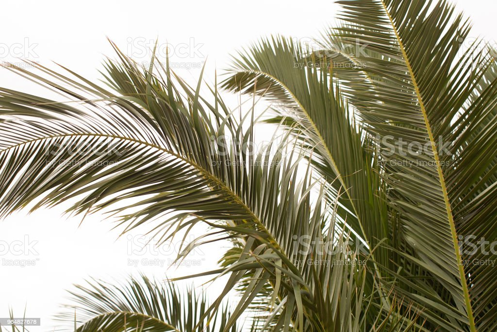 Fronds of a Date Palm royalty-free stock photo