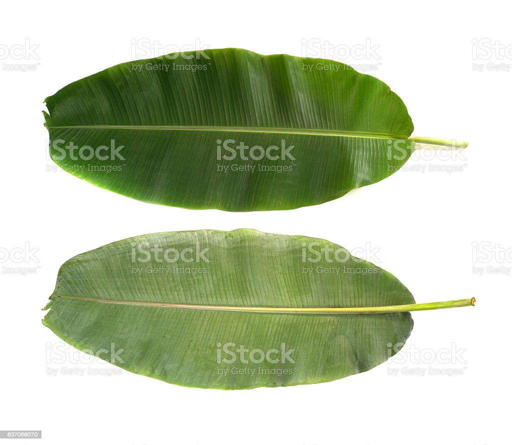 Front and back banana leafs isolated on white background stock photo