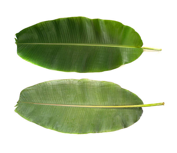 Front and back banana leafs isolated on white background - foto de stock