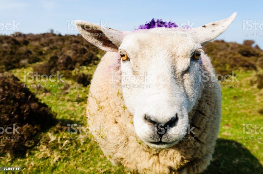 Vordere Nahaufnahme von einer freundlichen Schafe Gesicht, mit Purpur auf dem Rücken. – Foto