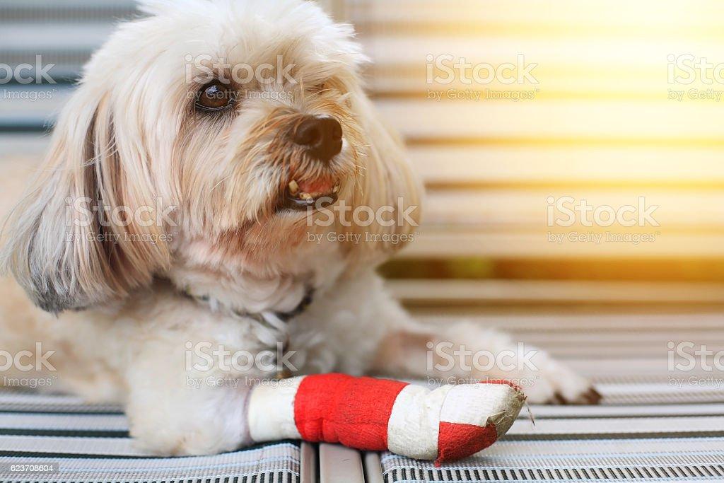 front leg wrapped by  bandage – Foto