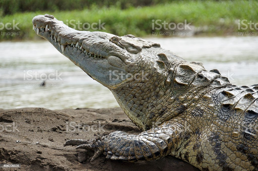 Front of an American Crocodile stock photo