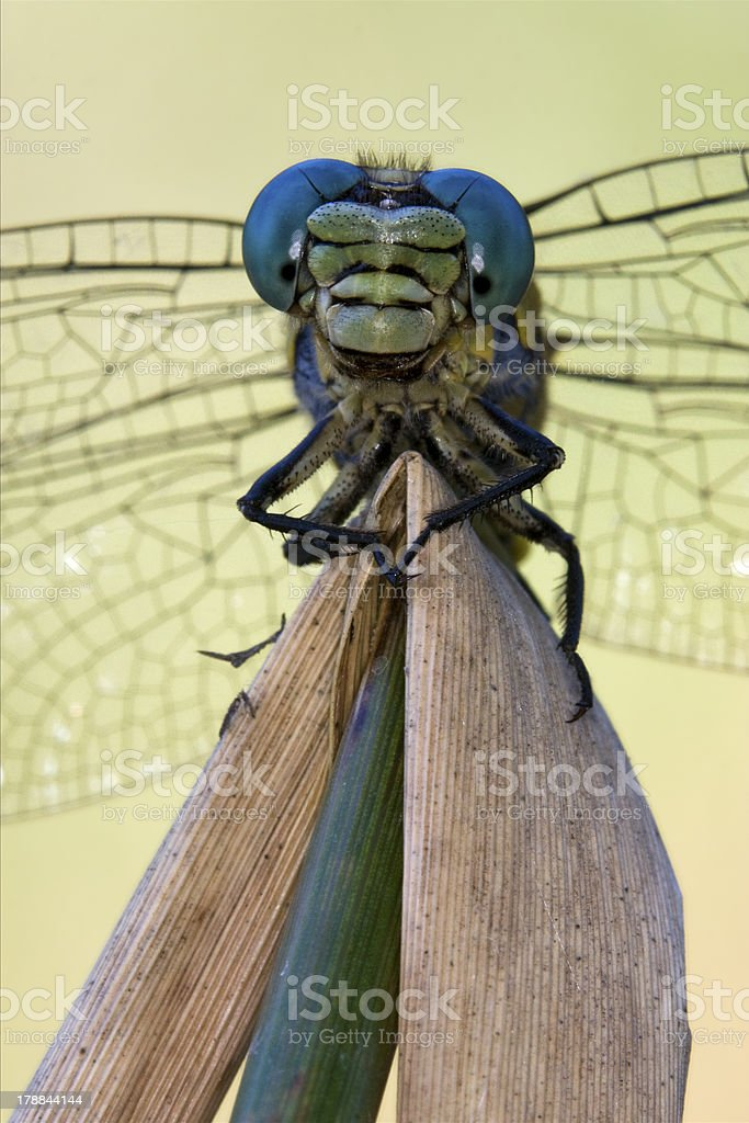 front of  wild  yellow anax imperator stock photo
