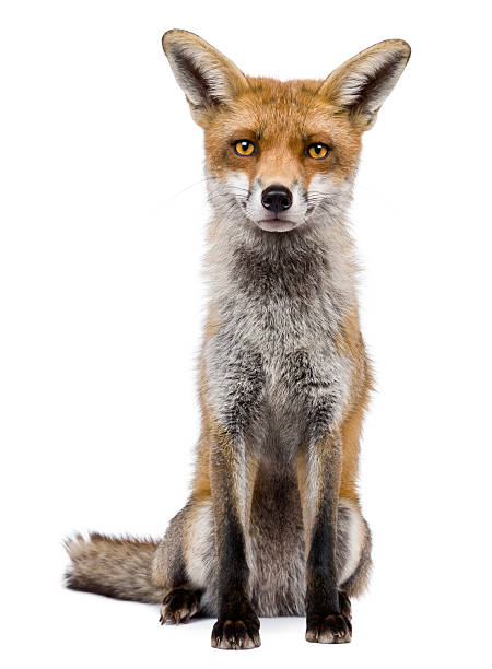 a front portrait of a one year old red fox - fox stock photos and pictures